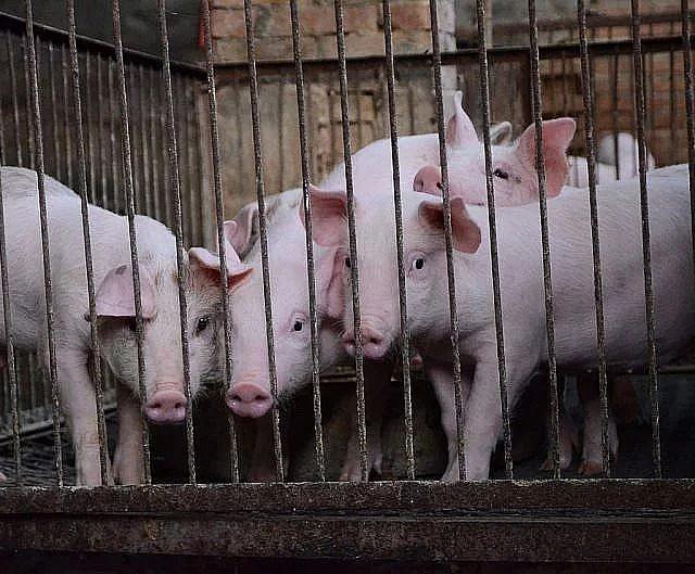 非洲豬瘟確定傳入越南,即日起攜越南豬肉製品入境開罰至少20萬元