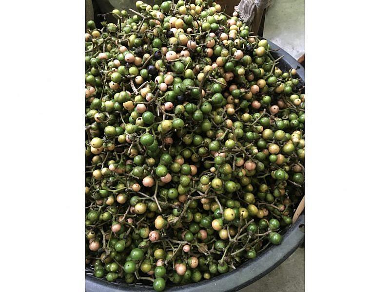 破布子果實本尊,成熟時果實由綠轉黃,綠色較生澀。圖:iCook編輯攝。